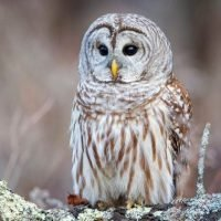 Totem Spirit Owl