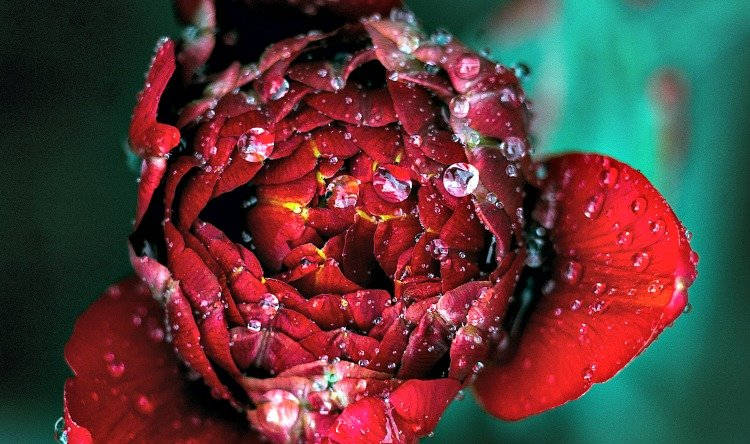 An opening rose, representing the realisation of in intention set at the beginning of the menstrual cycle.
